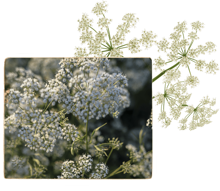 Angelica image, purloined from exotic villages nestled amongst the Polish Alps
