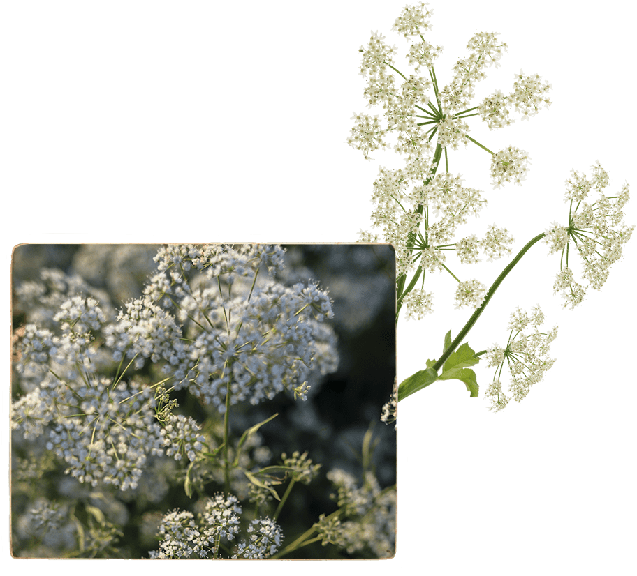 Angelica plant, used to flavor Benhams Gin with it's truffle-like musky notes