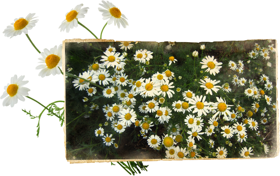 Image of the chamomile used to flavor Benhams Gin with notes of apples, honey, wildflowers, and hay