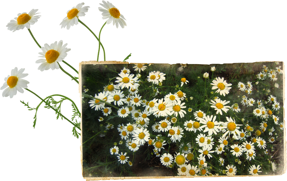 Chamomile flowers collected while abroad D. George Benham's motorized surfboard in California, USA