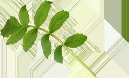 Image of herbs used to Benham's Gin