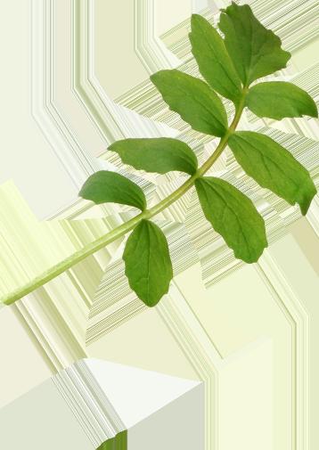 Image of an herb used to make Benham's Gin