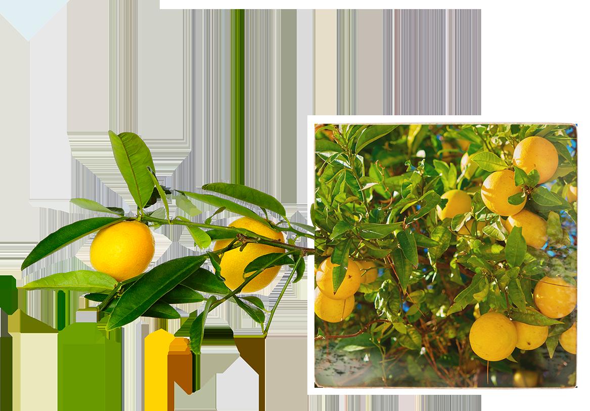 Image of many Meyer lemons on a tree