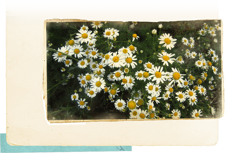 Photograph of chamomile flowers on a postcard image