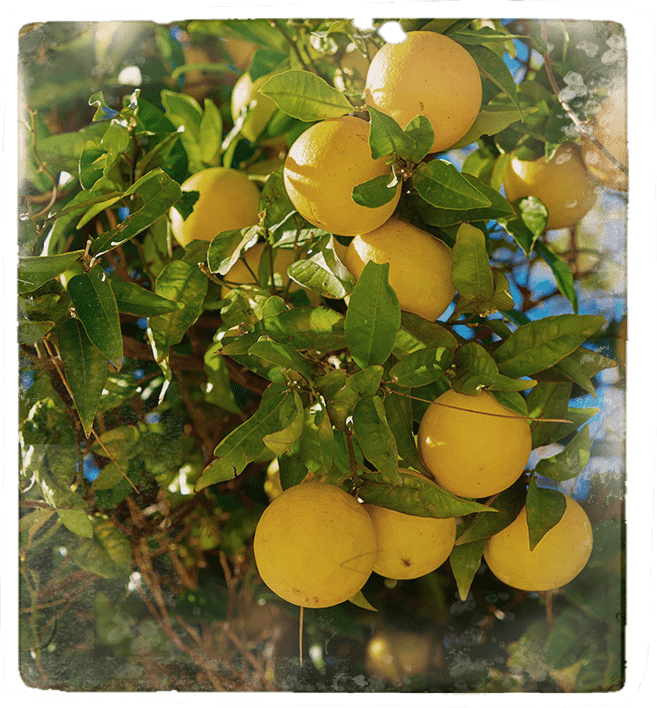 Lime tree image for D. George Benham's Gin