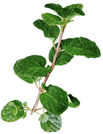 Mint garnish to be used with Benham's Gin cocktails