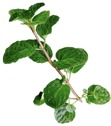 Mint used in Benham's Gin Concoctions