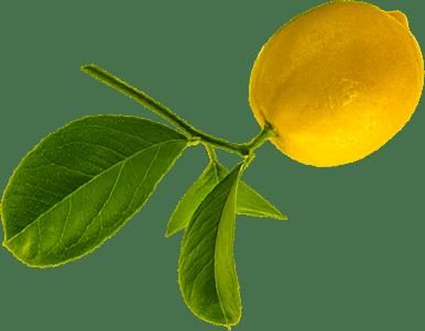 Lemons used to flavor Benham's Gin