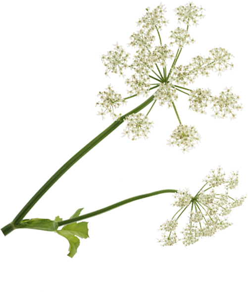 Images of plant with flowers