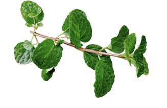 Mint used in the process of giving gin so much character