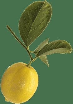 Lemon on a tree branch